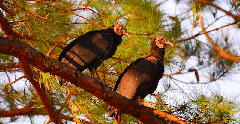 Black Vultures [(c) William Lawson]